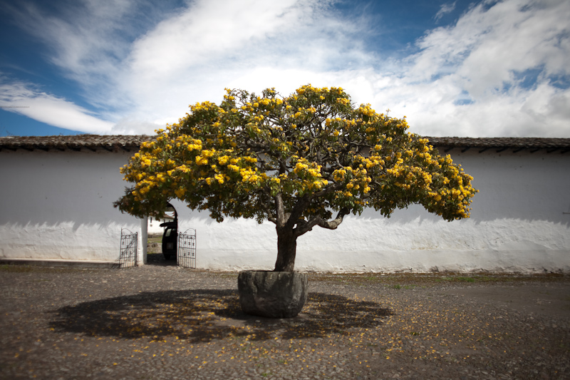 hacienda zuleta cordia lutea - yellow geiger tree?