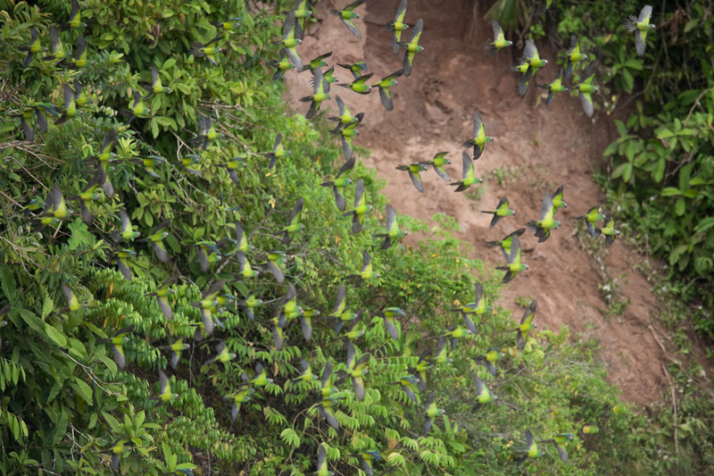 parrots fleeing the parrot lick