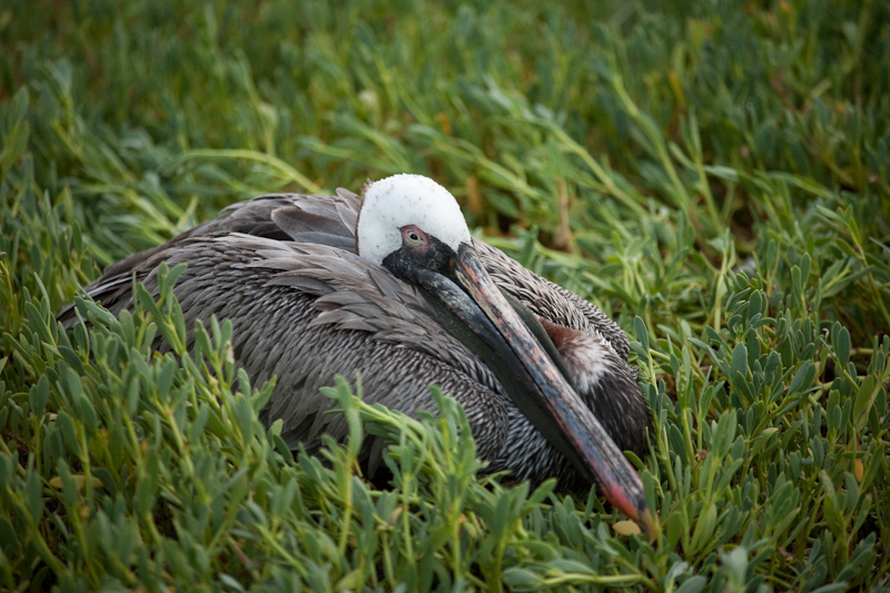 a galapagos brown pelican