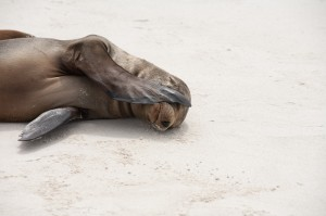 shy sea lion