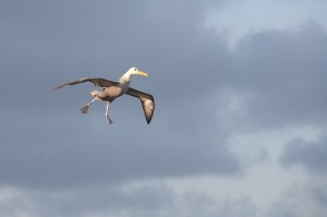 waved albatross trying to land