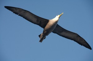 waved albatross wingspan