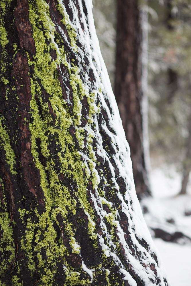donner lake moss